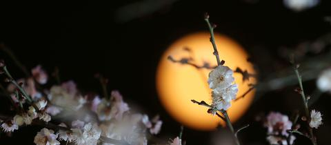 Mond hinter Kirschbaum