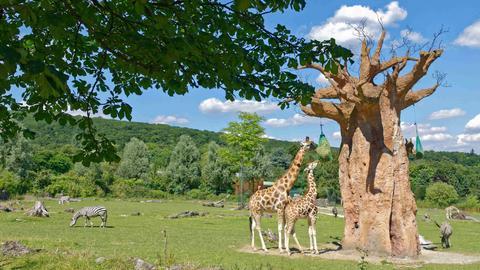Afrika-Savanne im Opel-Zoo