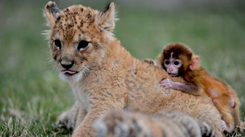 Baby tigers, a baby monkey and a baby lion