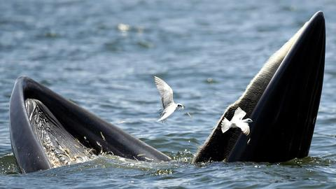 Ein Brydewal kann keine Zähne zeigen, weil er Barten im Maul hat.
