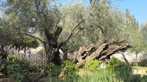 Olivenbäume im Garten Gethsemane in Jerusalem