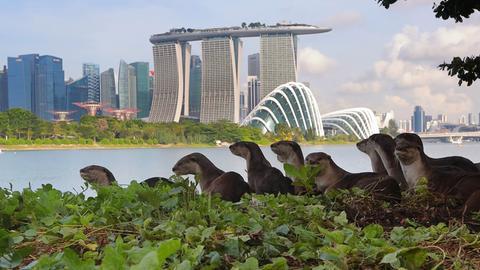 Mehrere Otter am Wasser, im Hintergrund die Kulisse Singapurs