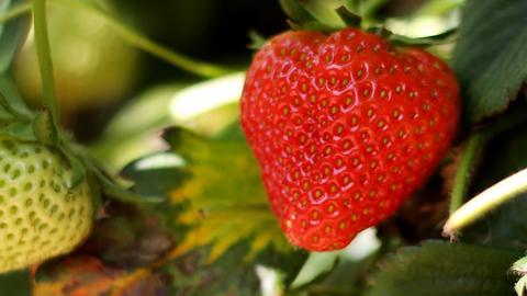 Eine Erdbeere hängt am 20.05.2014 auf ein Erdbeerfeld in Datteln (Nordrhein-Westfalen) neben weißen unreifen Erdbeeren.