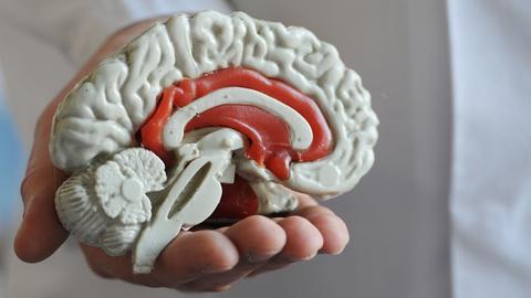 Das Modell von einem menschlichen Gehirn