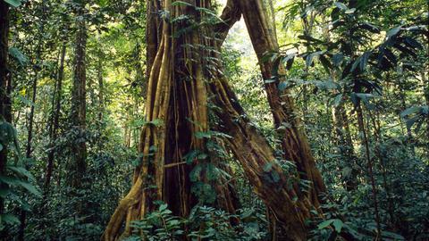 Borneo Regenwald Urwald