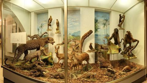 eine Vitrine im ehemaligen Missionsmuseum der Pallottiner mit historischen Tierpräparaten