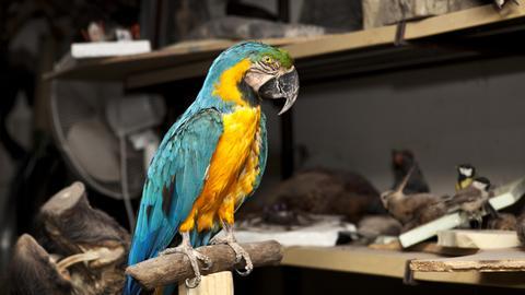 Ausgestopfter Papagei