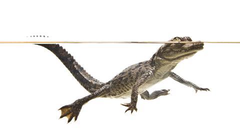 Kleines Krokodil schwimmt im Wasser