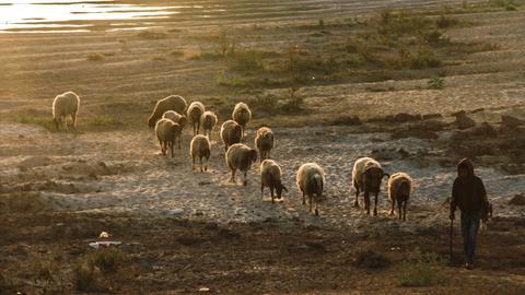 Schafshirte, Hirte, Schafe