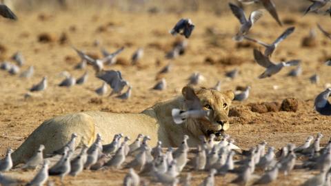 Löwe Vögel Tauben Südwestafrika Namibia Afrika Tiere