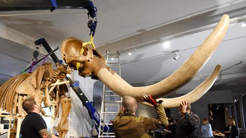 Angestellte des Hessischen Landesmuseums bauen das Skelett des Amerikanischen Mastodons für den Transport ins Smithsonian American Art Museum in Washington DC ab.