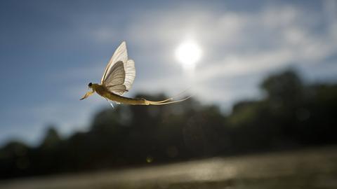 Mayfly, Eintagsfliege
