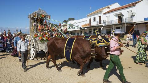 Pfingstochsen bei einem Umzug in der spanischen Stadt El Rocio
