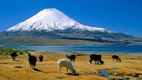 Alpakas grasen in Chilen untehalb eines Vulkans.