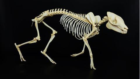 Urpferdchen 2.0: Nach der Computertomografie des Fossils wurde das Skelett rekonstruiert